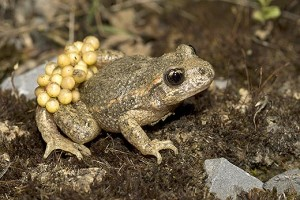 midwife toad 520 300x200