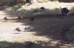 wildturkeys 1